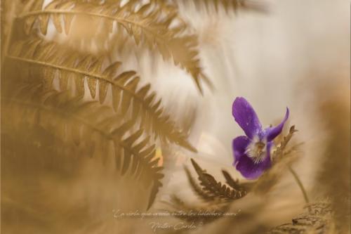 La viola que crecía entre los helechos secos